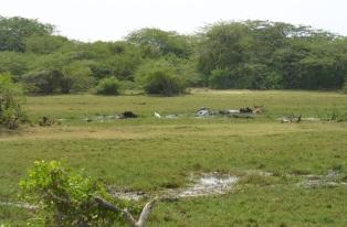 Bundala-Bueffel in Wasser