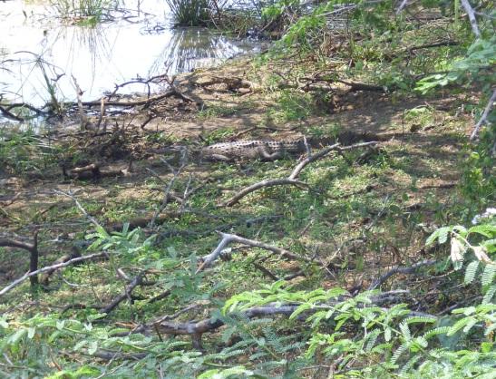 Bundala-Krokodil