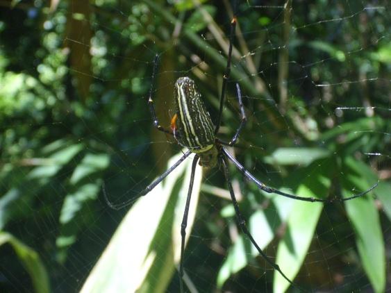 Spinne (weiblich)