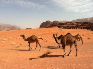 Kamele in Wadi Rum