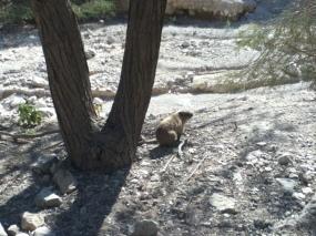 Klippschliefer (rock hyrax)