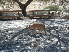 Syrischer Steinbock (nubian ibex)