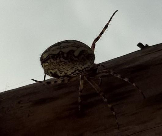 Spinne