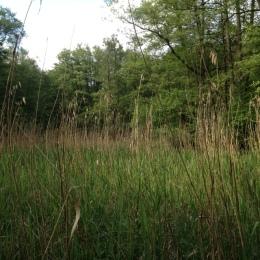 Schilf im Sumpfgebiet
