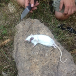 Übung: Tote Ratte schlachten